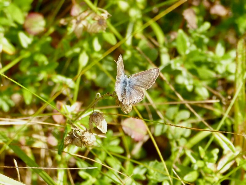 Faded female Common Blue butterfly