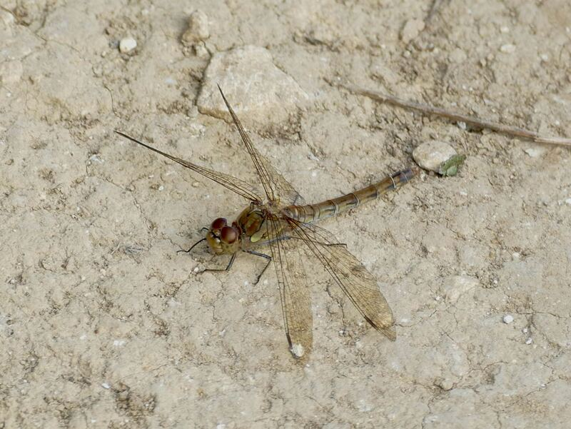 Female Common Darter, Fames Rough