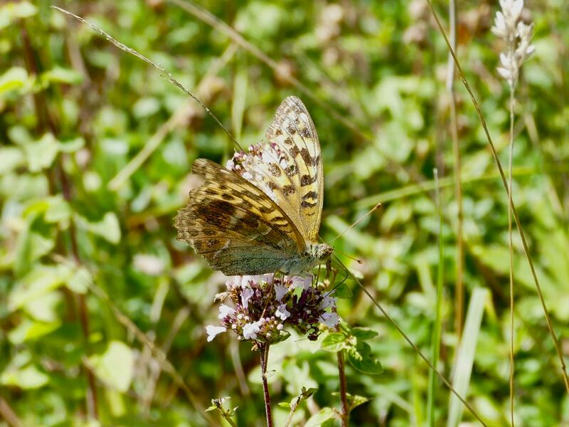 Worn Silver-washed Fritillary butterfly